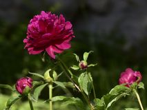 Paeonia lactiflora scientific name: Paeonia lactiflora Pall., prime minister in flowers. Peony is rich in color, with white, pink, red, purple, yellow, green royalty free stock photos