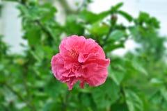 Paeonia officinalis lizenzfreie stockfotos
