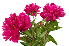 Paeonia officinalis flowers Royalty Free Stock Image