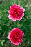Paeonia officinalis, gemeine Pfingstrose, Gartenpfingstrose lizenzfreies stockfoto