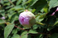 Paeonia officinalis kwiatu różowy pączek Fotografia Royalty Free
