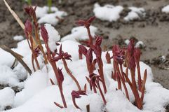 Paeonia officinalis stems before blooming in early spring with snow. European peony, or Common peony Paeonia officinalis stems before blooming in early spring Stock Photos