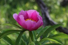 Paeonia officinalis, wild forest peony stock photography