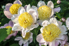 Paeonia (peony or paeony) Royalty Free Stock Photo