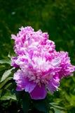 Paeonia,Peony Royalty Free Stock Image