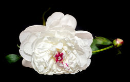 Paeonia peregrina, black background Stock Photo