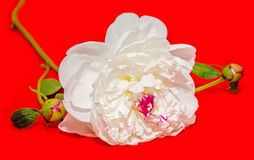 Paeonia peregrina, red background Royalty Free Stock Images
