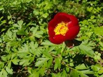 Paeonia peregrina - wild peony Stock Photography