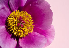 Paeonia. Pink paeonia on pink background royalty free stock photo