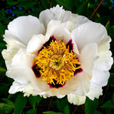 Paeonia Rockii Xue Lian. The tree peony (Paeonia suffruticosa), is a species of peony native to China. Paeonia Rockii Xue Lian (cultivated in Gansu, China), in Stock Image