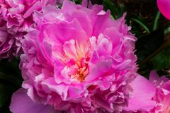 Paeonia rose Perrenial de pivoine de pétales Photos libres de droits