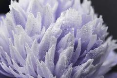 Paeonia Sarah Bernhardt, Paeonia lactiflora z rosy kroplą Paeonia Monsieur Jules Elie Dwoisty r??owy peonia kwiat Paeonia zdjęcia stock