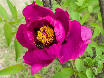 Paeonia suffruticosa Andrews. In the botanical garden Royalty Free Stock Image