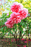 Paeonia suffruticosa. Beautiful pink flowers of the Moutan or Chinese tree peony (Paeonia suffruticosa Royalty Free Stock Photo