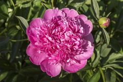 Paeonia suffruticosa in bloom with buds. Amazing spring flower, pink purple color, green leaves Stock Photos