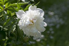 Paeonia suffruticosa in bloom with double flowers, green shrub with white flower petals. Ornamental garden plant Stock Images