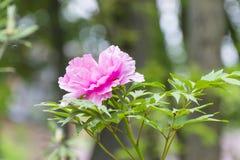 Paeonia suffruticosa. On a branch Stock Photography