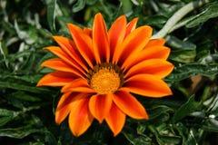 Paeonia suffruticosa close-up. A Paeonia suffruticosa flower close-up Stock Photography