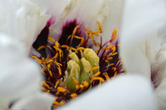 Paeonia suffruticosa. Close-up of a white flower tree peony Royalty Free Stock Image