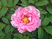 Paeonia Suffruticosa `Duchess of Marlborough`. Paeonia Suffruticosa or Japanese Tree Peony `Duchess of Marlborough` with large semi double saucer shaped blooms Stock Photography