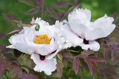 Paeonia suffruticosa White flower. Paeonia suffruticosa flower in the garden Royalty Free Stock Image
