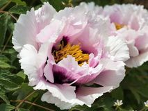 Paeonia suffruticosa,. Close-up flower peony on a Sunny day Royalty Free Stock Photo