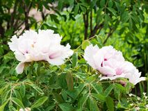 Paeonia suffruticosa. Two flower peony on a Sunny day Stock Photos