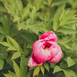 Paeonia suffruticosa pink flower. Flowers pink peonies in the garden Royalty Free Stock Photography
