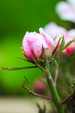 Paeonia suffruticosa. After the rain Royalty Free Stock Photos