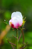 Paeonia suffruticosa. After the rain in the garden Stock Photo