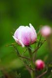 Paeonia suffruticosa. After the rain in the garden Stock Image