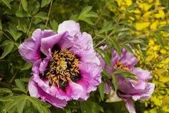 Paeonia Suffruticosa in a summer garden. Paeonia Suffruticosa blossoms in a summer garden Stock Image