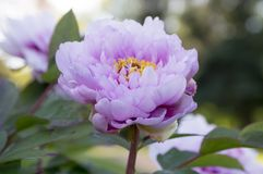 Paeonia suffruticosa, tree peonies in bloom. Ornamental light violet white flower with yellow center Royalty Free Stock Photo