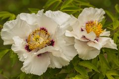 Paeonia suffruticosa, two flower peony. Blossoms white Paeonia suffruticosa variety Anastasia Sosnowiec on a blurred green background Stock Photos