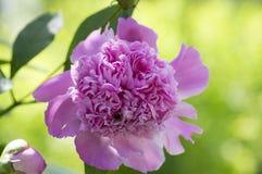 Paeonia suffruticosa w kwiacie z kopia kwiatami, zielony krzak z różowymi purpurami kwitnie płatki zdjęcia stock