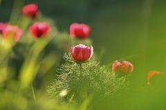 Paeonia tenuifolia Blume auch bekannt als Paeonia biebersteiniana oder Paeonia carthalinica Stockbild