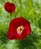 Paeonia tenuifolia flower Stock Photos