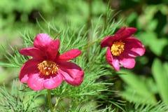 Paeonia tenuifolia flowers Royalty Free Stock Photo