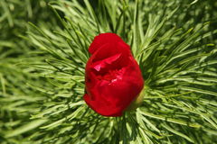 Paeonia tenuifolia Paeonia anomala red flower in dense green foliage Stock Images