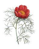 Paeonia tenuifolia | Redoute Flower Illustrations Royalty Free Stock Image