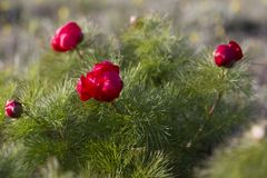 Paeonia tenuifolia, wildflower meadow mountain flower in may at the lower plateau Chatyr-Dag in the sunset stock images