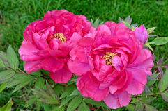 Paeonia. Two Paeonia in early summer with green background Stock Photo