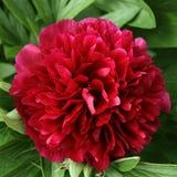 paeoniaceae λουλουδιών Στοκ Φωτογραφία