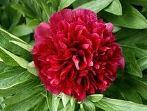 Paeoniaceae Fotografie Stock