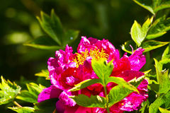 Paeonialactiflorabår Fotografering för Bildbyråer