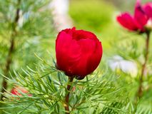 Paeoniatenuifolia, Stock Foto's