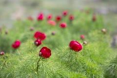 Paeoniatenuifolia, wildflower de bloem van de weideberg kan binnen royalty-vrije stock foto's
