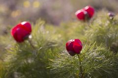 Paeoniatenuifoliaen, blomma f?r vildblomma?ngberg kan in arkivfoto