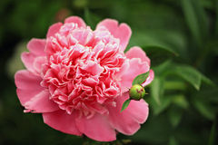 Paeony. Royalty Free Stock Photo