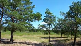 Paesaggio in abetaia, giorno soleggiato stock footage